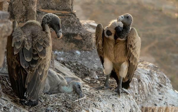 Белоголовый-сип-птица-Описание-особенности-виды-образ-жизни-и-среда-обитания-сипа-5