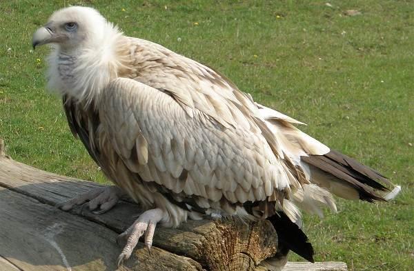 Белоголовый-сип-птица-Описание-особенности-виды-образ-жизни-и-среда-обитания-сипа-6