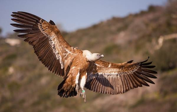 Белоголовый-сип-птица-Описание-особенности-виды-образ-жизни-и-среда-обитания-сипа-7