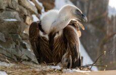 Белоголовый сип птица. Описание, особенности, виды, образ жизни и среда обитания сипа