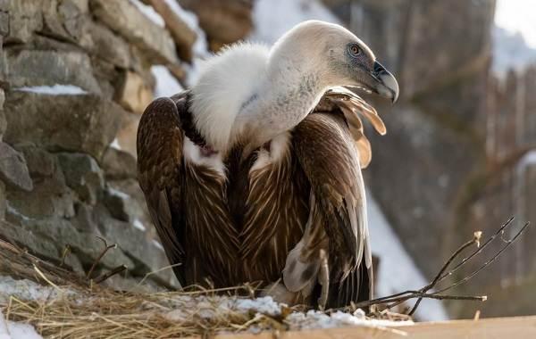 Белоголовый-сип-птица-Описание-особенности-виды-образ-жизни-и-среда-обитания-сипа-9