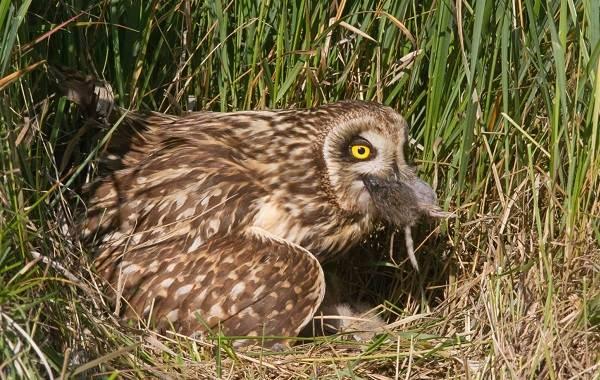 Болотная-сова-Описание-особенности-образ-жизни-и-среда-обитания-птицы-11
