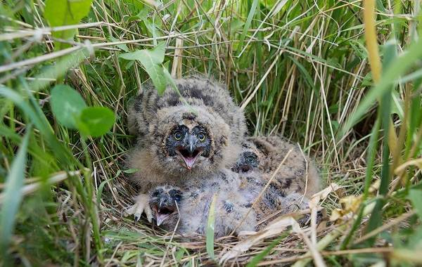 Болотная-сова-Описание-особенности-образ-жизни-и-среда-обитания-птицы-12