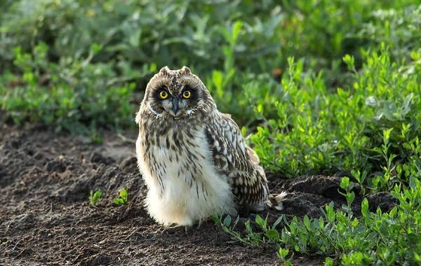 Болотная-сова-Описание-особенности-образ-жизни-и-среда-обитания-птицы-2