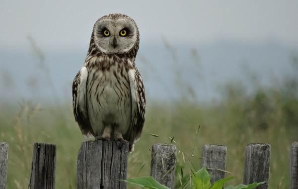 Болотная-сова-Описание-особенности-образ-жизни-и-среда-обитания-птицы-4