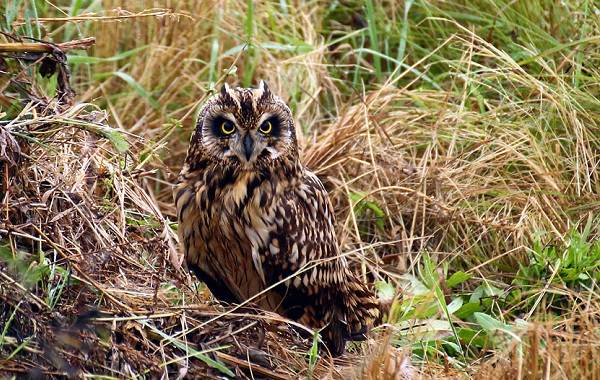 Болотная-сова-Описание-особенности-образ-жизни-и-среда-обитания-птицы-5
