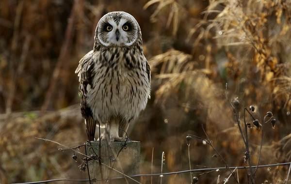 Болотная-сова-Описание-особенности-образ-жизни-и-среда-обитания-птицы-9