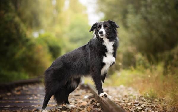 Бордер-колли-собака-Описание-особенности-виды-уход-и-цена-породы-бордер-колли-1