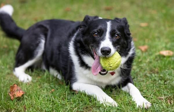 Бордер-колли-собака-Описание-особенности-виды-уход-и-цена-породы-бордер-колли-10