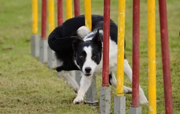 Бордер-колли-собака-Описание-особенности-виды-уход-и-цена-породы-бордер-колли-11