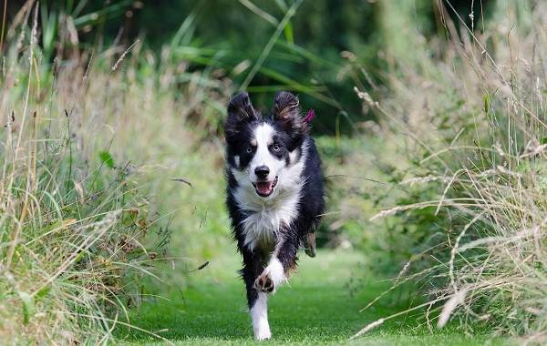 Бордер-колли-собака-Описание-особенности-виды-уход-и-цена-породы-бордер-колли-12