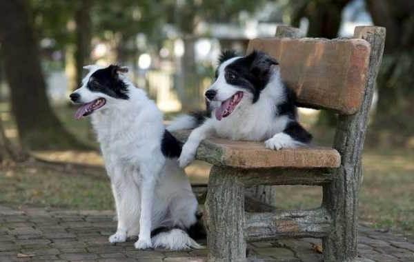 Бордер-колли-собака-Описание-особенности-виды-уход-и-цена-породы-бордер-колли-13