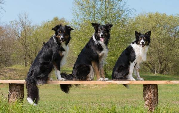 Бордер-колли-собака-Описание-особенности-виды-уход-и-цена-породы-бордер-колли-14