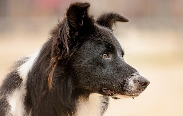 Бордер-колли-собака-Описание-особенности-виды-уход-и-цена-породы-бордер-колли-2