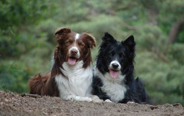 Бордер-колли-собака-Описание-особенности-виды-уход-и-цена-породы-бордер-колли-3
