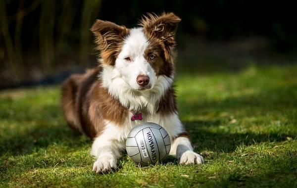 Бордер-колли-собака-Описание-особенности-виды-уход-и-цена-породы-бордер-колли-5