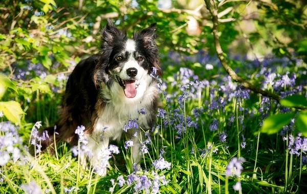Бордер-колли-собака-Описание-особенности-виды-уход-и-цена-породы-бордер-колли-6