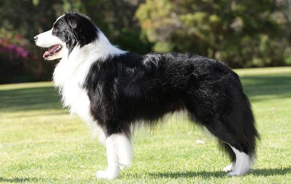 Бордер-колли-собака-Описание-особенности-виды-уход-и-цена-породы-бордер-колли-7