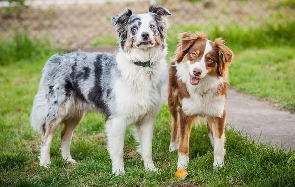 Бордер-колли-собака-Описание-особенности-виды-уход-и-цена-породы-бордер-колли-8