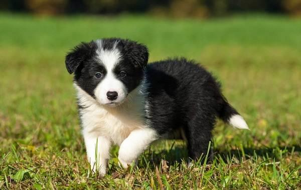 Бордер-колли-собака-Описание-особенности-виды-уход-и-цена-породы-бордер-колли-9