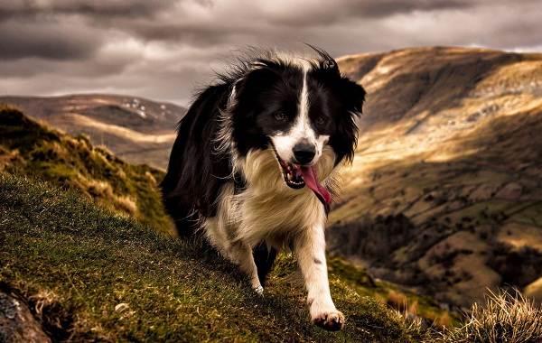 Бордер-колли-собака-Описание-особенности-виды-уход-и-цена-породы-бордер-колли