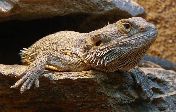 Бородатая-агама-ящерица-Описание-особенности-образ-жизни-и-среда-обитания-агамы-1
