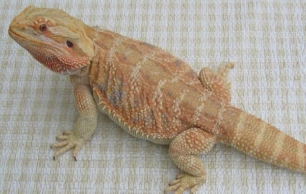 Бородатая-агама-ящерица-Описание-особенности-образ-жизни-и-среда-обитания-агамы-10