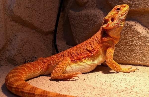 Бородатая-агама-ящерица-Описание-особенности-образ-жизни-и-среда-обитания-агамы-11