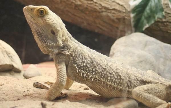 Бородатая-агама-ящерица-Описание-особенности-образ-жизни-и-среда-обитания-агамы-12