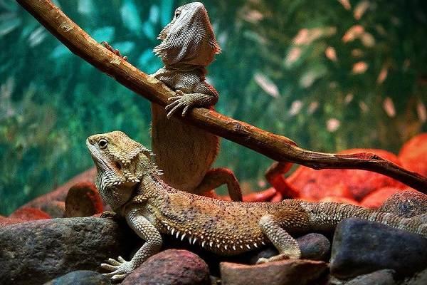 Бородатая-агама-ящерица-Описание-особенности-образ-жизни-и-среда-обитания-агамы-14