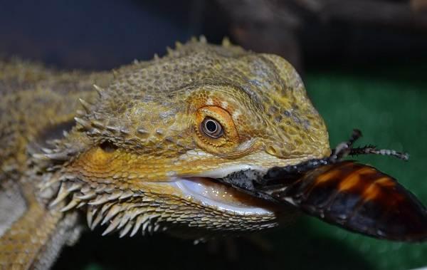 Бородатая-агама-ящерица-Описание-особенности-образ-жизни-и-среда-обитания-агамы-15