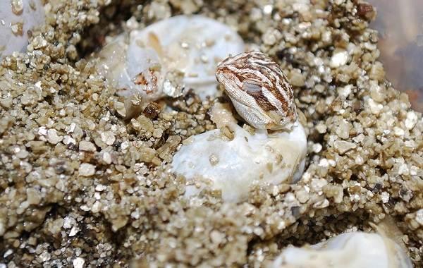 Бородатая-агама-ящерица-Описание-особенности-образ-жизни-и-среда-обитания-агамы-16