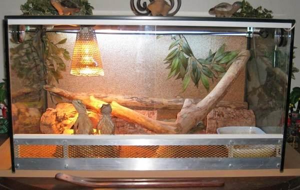 Бородатая-агама-ящерица-Описание-особенности-образ-жизни-и-среда-обитания-агамы-17