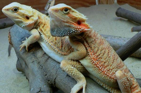 Бородатая-агама-ящерица-Описание-особенности-образ-жизни-и-среда-обитания-агамы-19