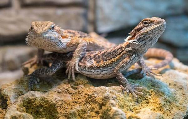 Бородатая-агама-ящерица-Описание-особенности-образ-жизни-и-среда-обитания-агамы-2