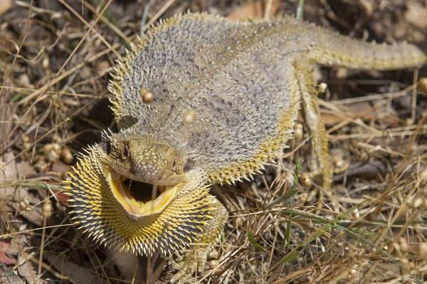 Бородатая-агама-ящерица-Описание-особенности-образ-жизни-и-среда-обитания-агамы-3