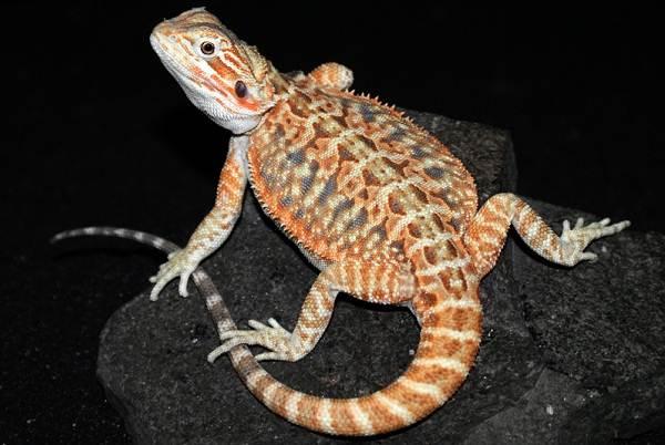 Бородатая-агама-ящерица-Описание-особенности-образ-жизни-и-среда-обитания-агамы-4