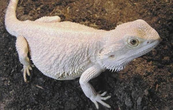 Бородатая-агама-ящерица-Описание-особенности-образ-жизни-и-среда-обитания-агамы-5