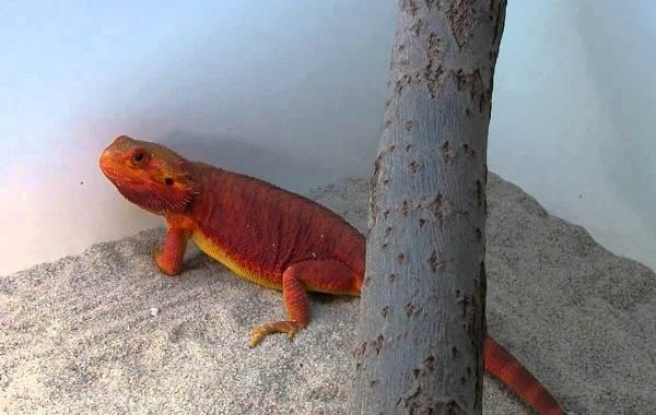 Бородатая-агама-ящерица-Описание-особенности-образ-жизни-и-среда-обитания-агамы-6