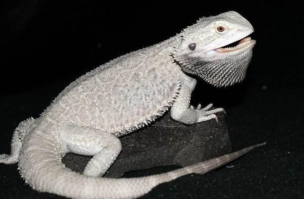 Бородатая-агама-ящерица-Описание-особенности-образ-жизни-и-среда-обитания-агамы-7