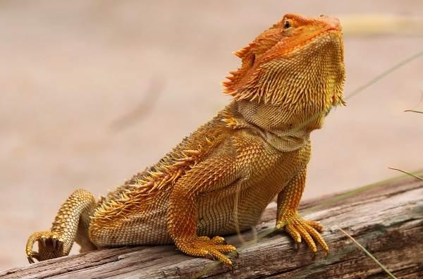 Бородатая-агама-ящерица-Описание-особенности-образ-жизни-и-среда-обитания-агамы-8