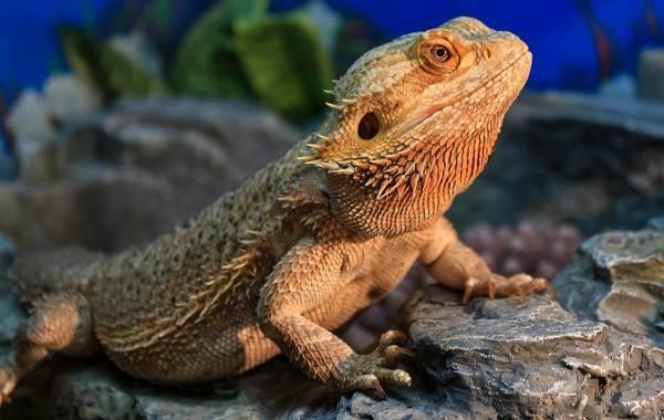 Бородатая-агама-ящерица-Описание-особенности-образ-жизни-и-среда-обитания-агамы-9
