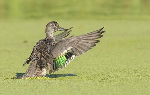 Чирок-свистунок-птица-Описание-особенности-виды-образ-жизни-и-среда-обитания-чирка-11