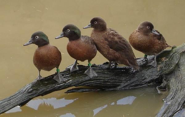 Чирок-свистунок-птица-Описание-особенности-виды-образ-жизни-и-среда-обитания-чирка-12