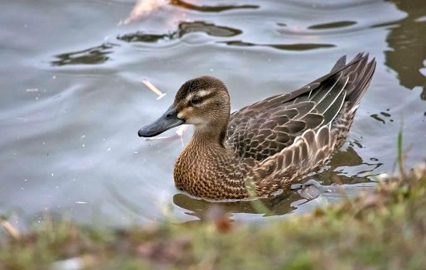 Чирок-свистунок-птица-Описание-особенности-виды-образ-жизни-и-среда-обитания-чирка-16