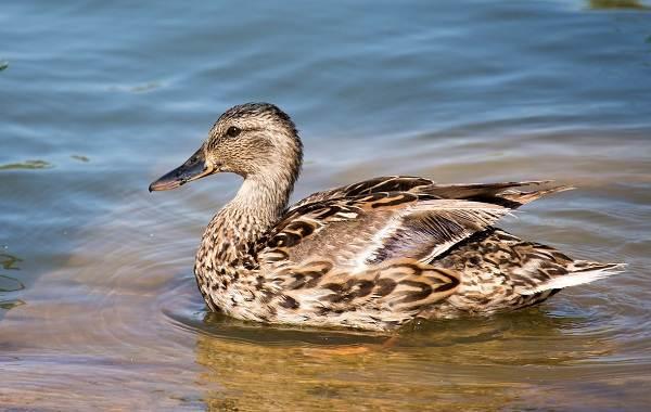 Чирок-свистунок-птица-Описание-особенности-виды-образ-жизни-и-среда-обитания-чирка-17
