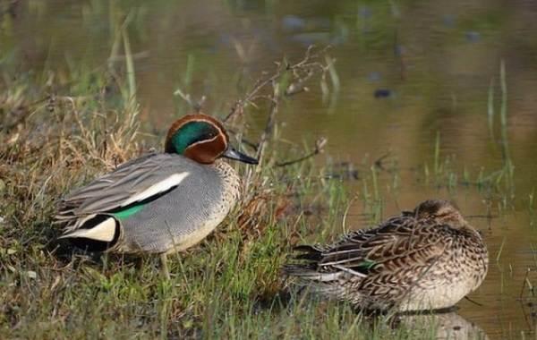 Чирок-свистунок-птица-Описание-особенности-виды-образ-жизни-и-среда-обитания-чирка-19