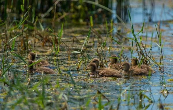 Чирок-свистунок-птица-Описание-особенности-виды-образ-жизни-и-среда-обитания-чирка-23