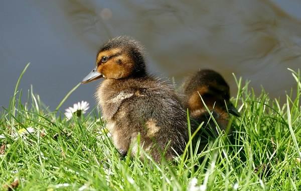 Чирок-свистунок-птица-Описание-особенности-виды-образ-жизни-и-среда-обитания-чирка-24