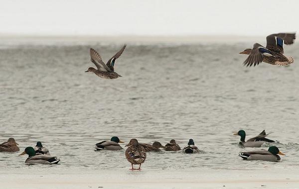 Чирок-свистунок-птица-Описание-особенности-виды-образ-жизни-и-среда-обитания-чирка-25
